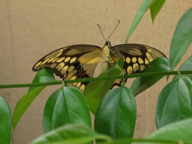 giant swallowtail 3.jpg