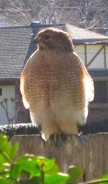 Hawks 014.jpg