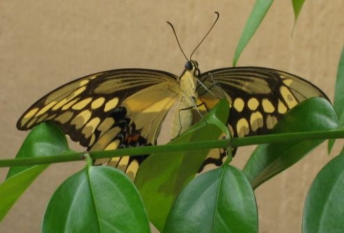 giant swallowtail cropped